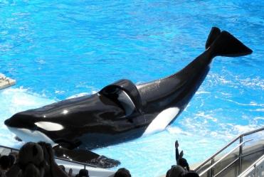 Tilikum_(orca)_(Shamu).jpg